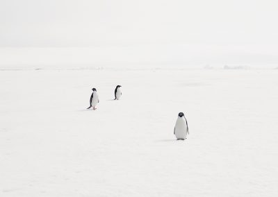 Adeli Penguins On Fast Ice, Antarctica, 2007