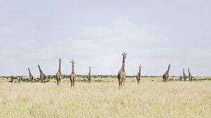 12 Giraffes, Maasai Mara, Kenya