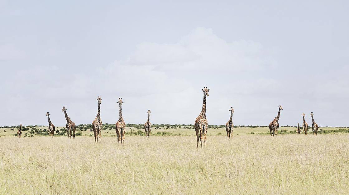 DB_12 Giraffes, Maasai Mara, Kenya 2018