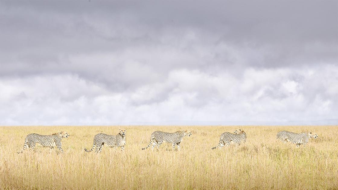 DB_Cheetah Coalition, Maasai Mara, Kenya 2019