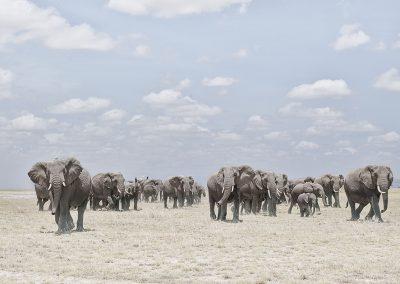Elephants  Crossing Dusty Plain, Amboseli, Kenya