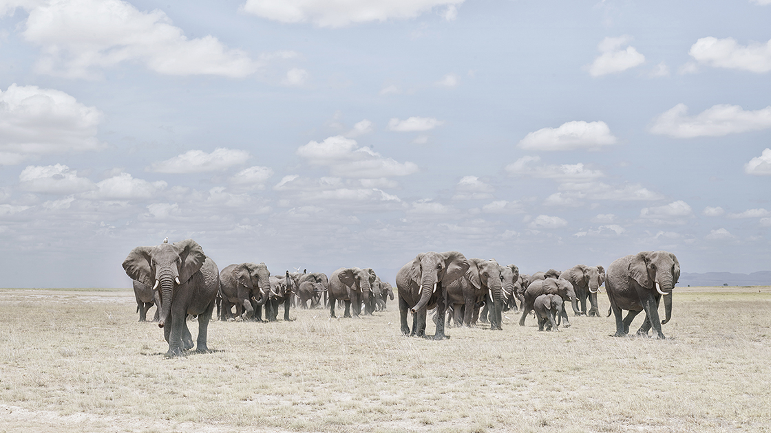 DB_Elephants Crossing Dusty Plain, Amboseli, Kenya 2019