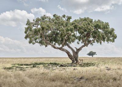 Lion Cubs Under Acacia Tree, Maasai Mara, Kenya