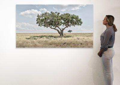 DB_Lion Cubs Under Acacia Tree, Maasai Mara, Kenya_37 x 66_installation