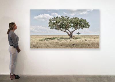 DB_Lion Cubs Under Acacia Tree, Maasai Mara, Kenya_48 x 85_installation