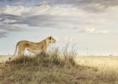 Lioness in Repose, Maasai Mara, Kenya, 2019