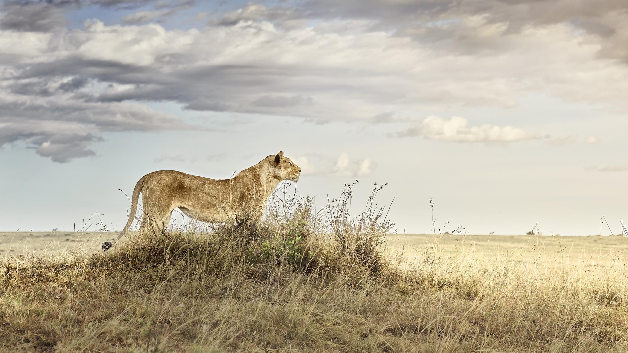 Lioness in Repose, Maasai Mara, Kenya 2019