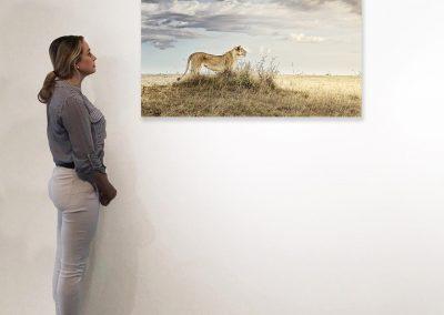 Lioness in Repose, Maasai Mara, Kenya 27 x 48 installation