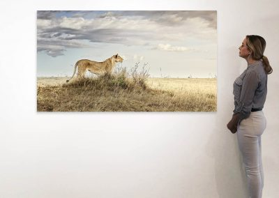 Lioness in Repose, Maasai Mara, Kenya 37 x 66 installation