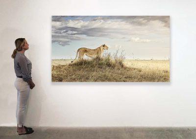 Lioness in Repose, Maasai Mara, Kenya 48 x 85 installation