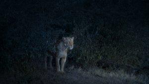 Nocturne (Lioness), Maasai Mara, Kenya, 2019