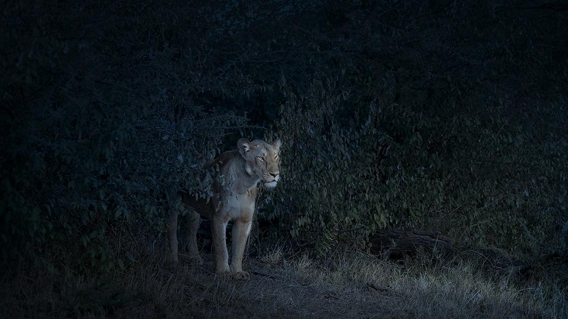 DB_Nocturne (Lioness), Maasai Mara, Kenya, 2019