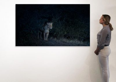 Nocturne (Lioness), Maasai Mara, Kenya, 37 x 66, installation copy
