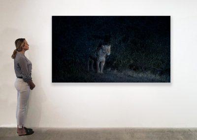 Nocturne (Lioness), Maasai Mara, Kenya, 48 x 85, installation
