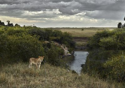 One Eyed Lion, Maasai Mara, Kenya, 2019