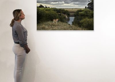 One Eyed Lion, Maasai Mara, Kenya 27 x 48 installation