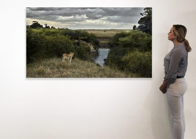One Eyed Lion, Maasai Mara, Kenya 37 x 66 installation
