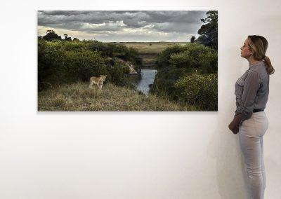 One Eyed Lion, Maasai Mara, Kenya 37 x 66 installation