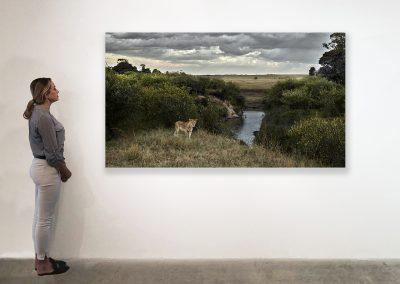 DB_One Eyed Lion, Maasai Mara, Kenya_48 x 85_installation