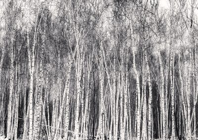 Silver Birch Forest, Wuchang, Heilongjiang, China