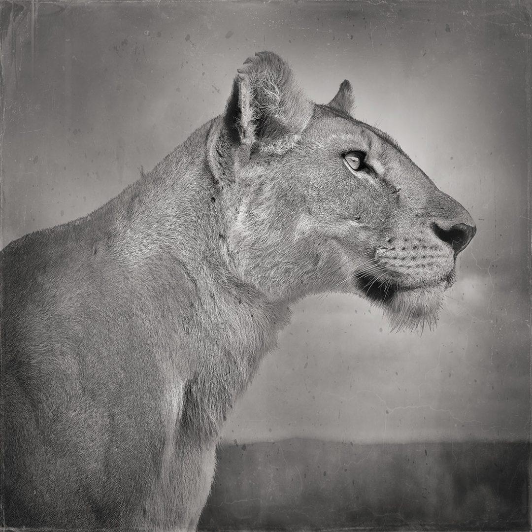 'Lioness in Profile, Serengeti, Tanzania' - David Burdeny