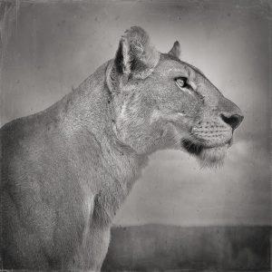 Lioness in Profile, Serengeti, Tanzania, 2019